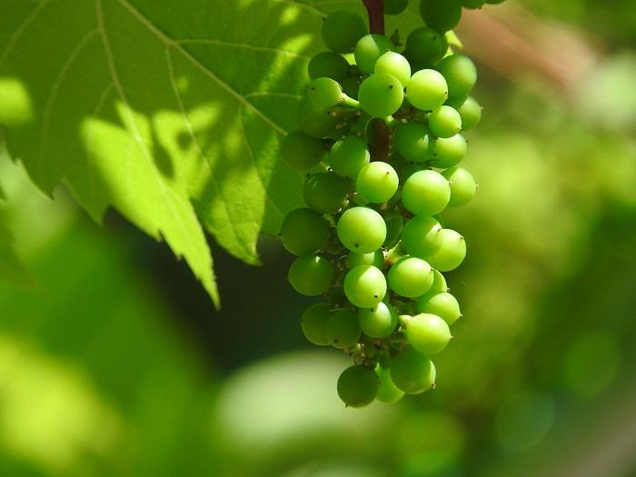 秋の食べ物ランキングNo.5 ブドウ