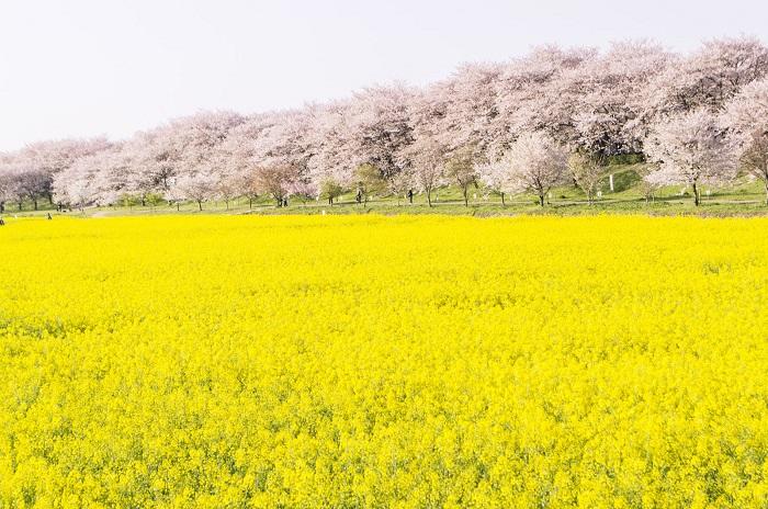 春といえば? 菜の花