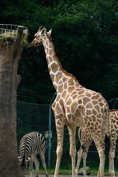 キリンの首はなぜ長いの?長さや骨の数はどのくらい?
