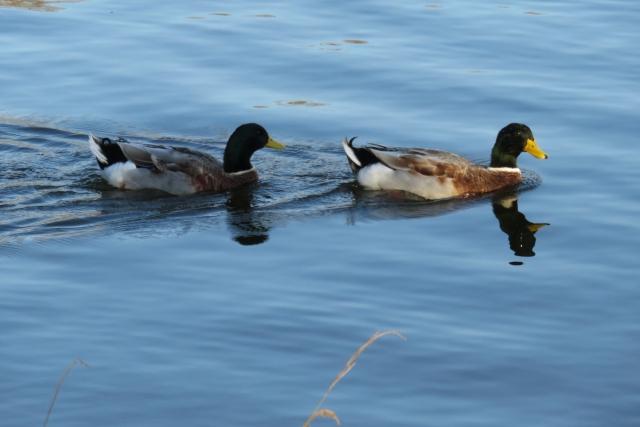 水辺で見ることができる野鳥にはどんな種類がいるの?