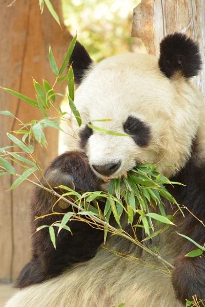 パンダが白黒模様の理由は?もし白黒反転していたら…?