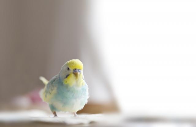 初心者でも安心して飼育できる鳥にはどんな種類があるの?