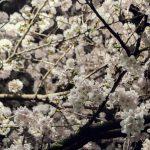 春といえば?春の行事・イベントは何がある?