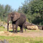 象の鼻はなぜ長いの?その理由とは?
